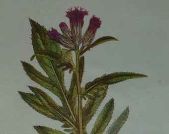 Antique Botanical Print, Saw-Wort Decor, Herbal Medicine Wall Art, Purple Floral Gift, Available Framed, Flower Art, Home Remedies, Botany