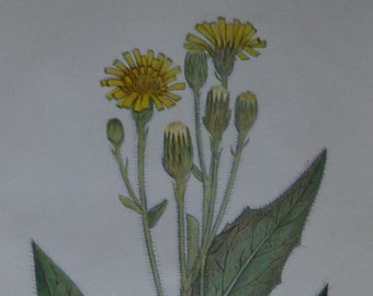 Antique Botanical Print, Hawkweed Decor, Botany Wall Art, Yellow Floral Gift, Available Framed Flower Art Wildflower Decor Hieracium Artwork