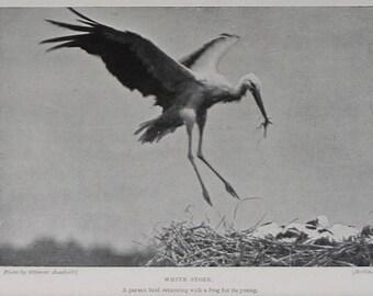 1901 Victorian Ornithology Print of White Storks at Nest