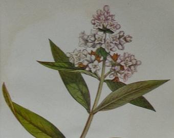 1920s Antique Botanical Print of Privet, Hedge Decor, Available Framed, Botany Art, Floral Gift for Botanist, Beautiful Natural History Art