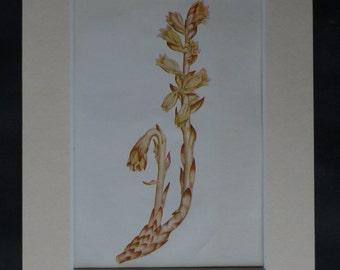 1920s Antique Botanical Print of Dutchman's Pipe, False Beech-Drops Decor, Available Framed, Botany Art, Wildflower Floral Gift for Botanist