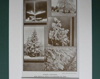 Antique 1920s Winter Trees Print -  Sepia Picture - Fir - Black & White - Snow - Nature - Hoar Frost - Matted Ready To Frame - Mounted