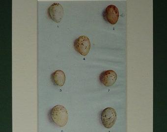 1916 Print Of Bird Eggs - Bullfinch - Chaffinch - Goldfinch - Greenfinch - Hawfinch - Shrike - Linnet - Ornithology - Matted - Mounted