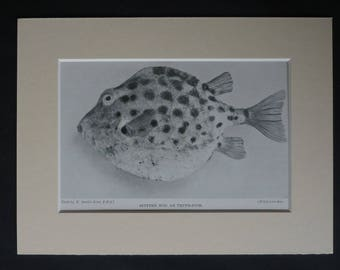 1901 Antique Spotted Trunkfish Print, Fishing Gift for Angler, Available Framed, Angling Art Fish Picture Marine Sealife Boxfish Photography