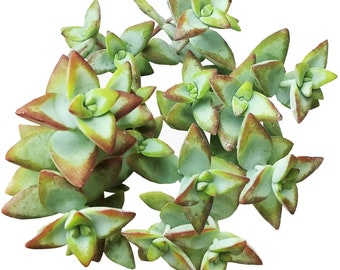 Crassula Rupestris High Voltage Bead Vine Rosary Vine Chinese Pagoda Jade Necklace Plant