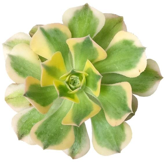 Aeonium Sunburst Variegated Succulent Yellow Green Pink Edge Etsy