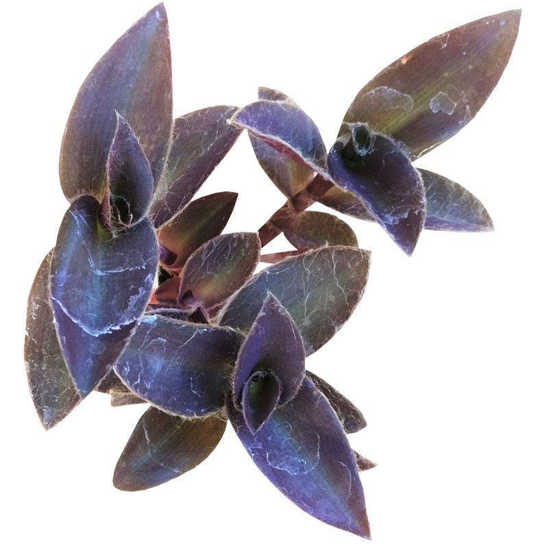ee286470a248 Purple Heart Tradescantia Pallida Purple Queen Wandering Jew