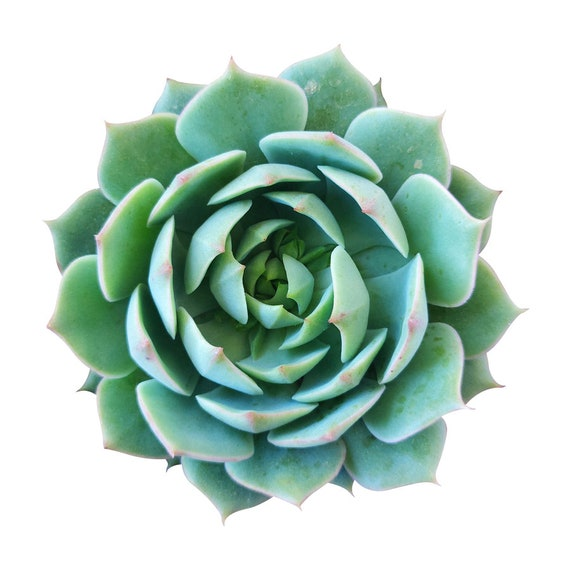 Echeveria Ramillette Succulent Mexican Hens And Chicks 4 Etsy