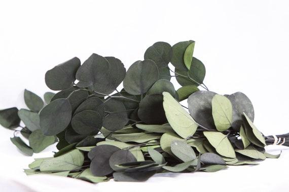 Preserved & Dyed Populus Eucalyptus Foliage - silver Dollar Eucalyptus Preserved - Green Eucalyptus