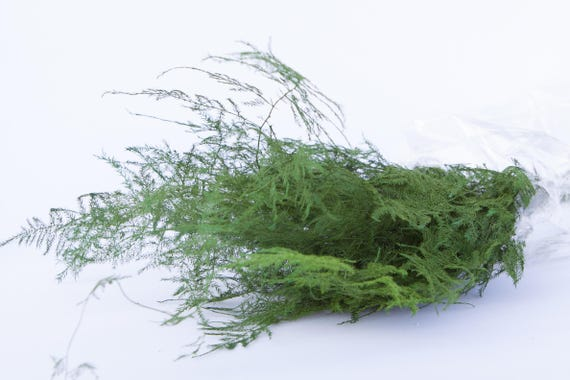 Preserved Plumosa Fern Greenery - Green Ferns - Preserved Ferns - Preserved Greenery