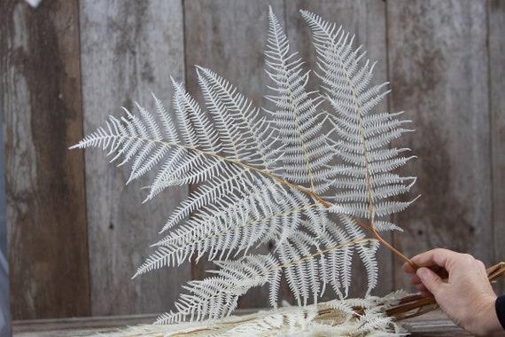 Preserved Bleached Bracken Fern - White Fern