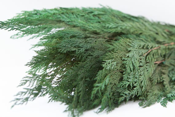 Preserved Cedar Foliage - Cedar Greenery - Winter Greenery - Evergreen Foliage