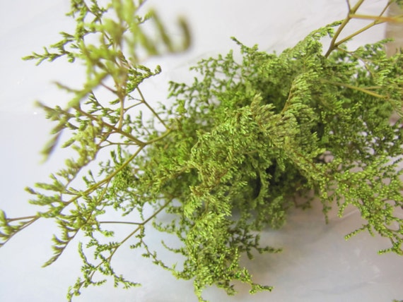 Preserved Dried Caspia Dyed Chartreuse -  Preserved Misty - Preserved Caspia - Chartreuse Flowers - FIller Flowers - DIY Fowers