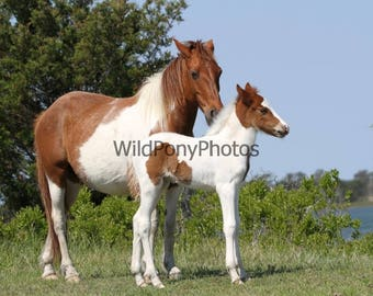 Chincoteague Mare & Foal
