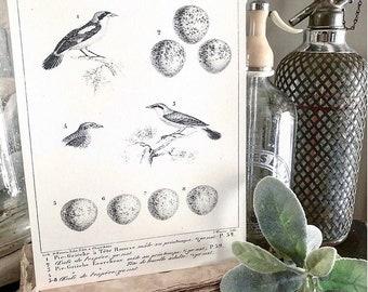 Vintage BIRD Egg Sign AntIque Diagram BOTANICAL Wall Art  Sign Print Farmhouse Decor Page Print Natural History Speckled Egg LANIUS