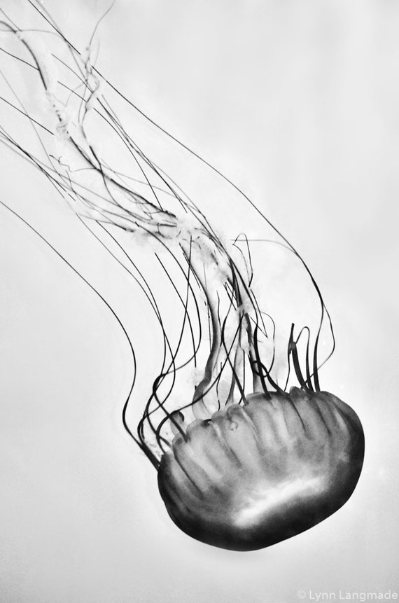 Black and white jellyfish photography sea nettle jellyfish