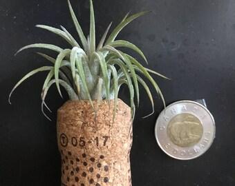 Magnet soilless air plant art
