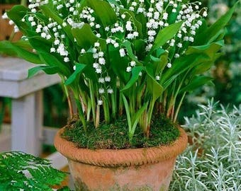 10 Lily of the Valley Roots