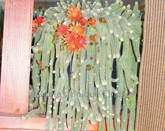 25 Peanut Cactus babies starters (Echinopsis Chamaecereus)