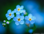 Flower Photography, Tiny Blue Forget-Me-Not, Fine Art Print, Photo Card, Mother's Day, Spring Summer Garden, Gift for Her, Home Decor