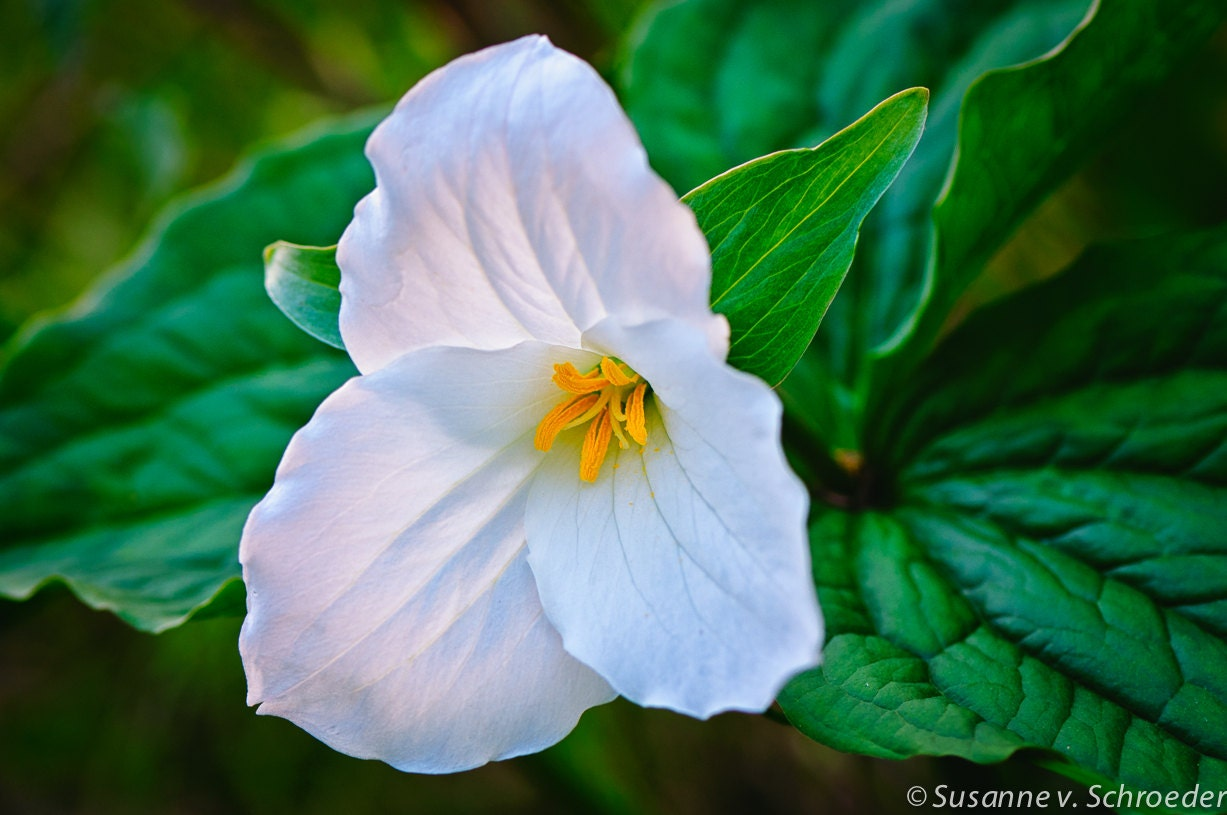 Flower Photography White Spring Flower Trillium Springtime Etsy