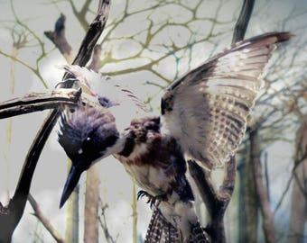 "Flying Bird Fine Art Photograph - Kingfisher Landing On Branches ""Dream Flight"" Home Decor"