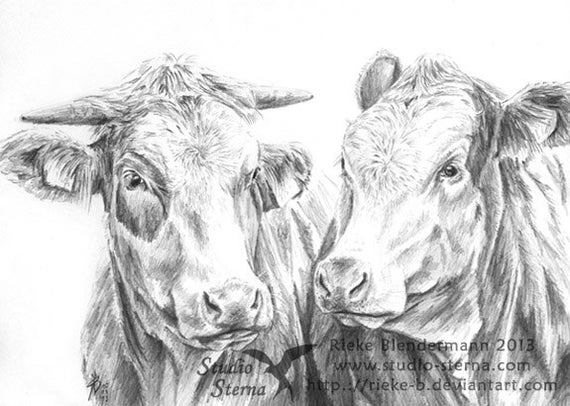 Pencil drawing cow portrait A4 21x29,7cm animal cattle cows original art artwork varnished unframed Studio Sterna