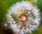 Dandelion in the Wind - Square Print - 10x10 to 20x20 - Closeup Nature Prints of Flowers Ready to Frame