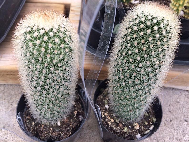 Cactus Plant Small Bristle Brush Cactus or Mammillaria Pilcayensis.