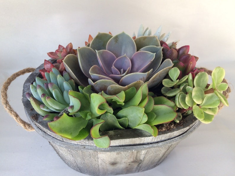 Complete Succulent Plant beautiful succulent arrangement shipped completely planted in a Grey White Washed Wood Oval Planter..