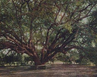 Antique Live Oak Southern California Undivided Back Postcard Unused