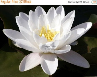 Exotic lotus flower etsy european white water lily flower 10 seeds aquatic plant star shape flowers ponds water features and gardens white lotus nymphaea alba mightylinksfo