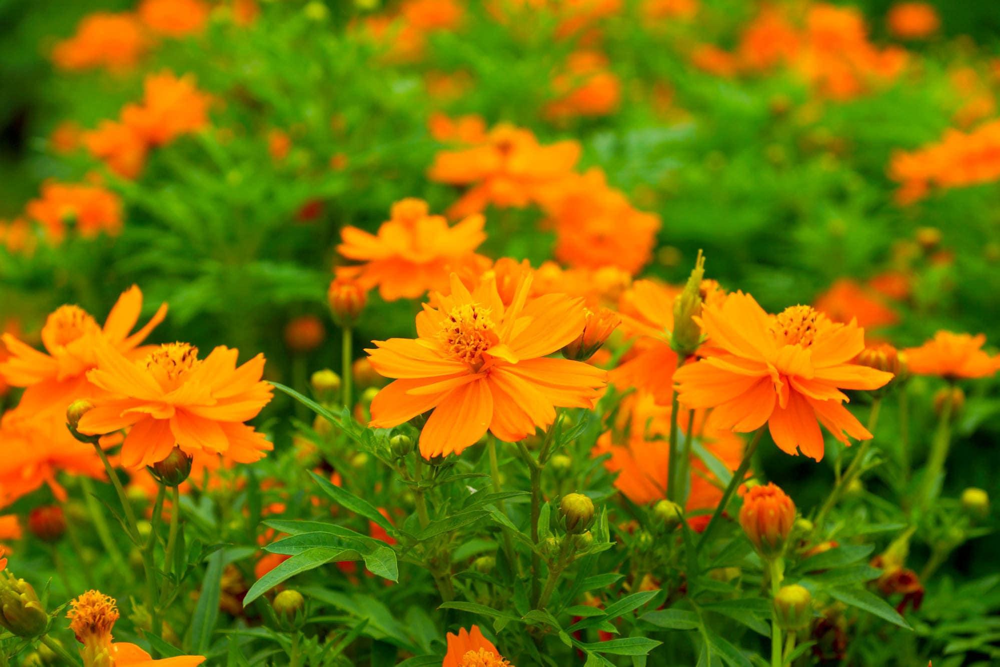 40 Premium Seeds Orange Cosmic Cosmos Drought Tolerant Annual Etsy