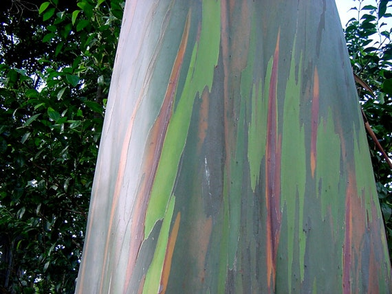 Rainbow Eucalyptus Tree 20 Seeds Eucalyptus Deglupta Smooth Etsy
