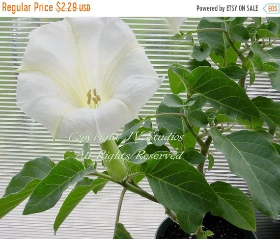 Angels trumpet tropical 20 seeds datura metel annual perennial etsy image 0 mightylinksfo