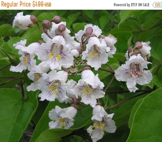 10 tree seeds southern catalpa white trumpet shaped flower etsy image 0 mightylinksfo