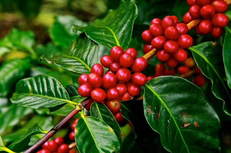 Coffea Canephora Robusta 10 Seeds Coffee Tree Small Etsy