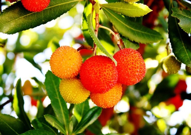 Arbutus unedo Strawberry Tree 10 seeds