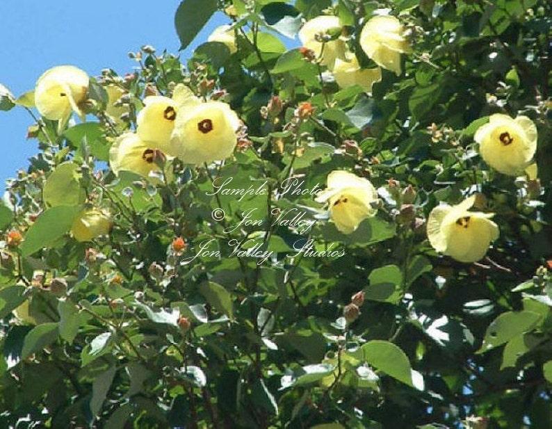 10 Seeds Sea Hibiscus Flower Salt Tolerant Blooms Bright Etsy