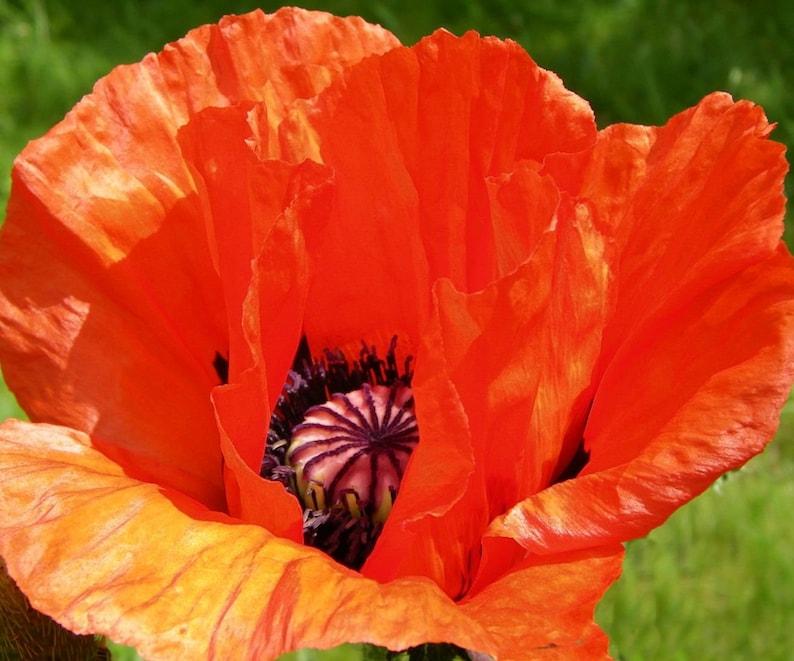 100 Premium Seeds Oriental Poppy Seed Orange Scarlet Etsy