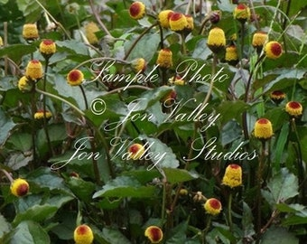 100 seeds Tropical Herb Toothache Plant Fast Growing Ornamental Annual Yellow Button Flowers Spilanthes acmella oleracea var paniculata