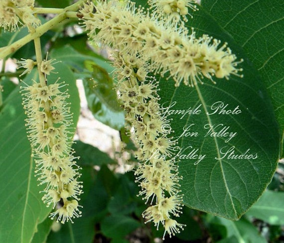 3 big seeds arjun tree koha super rare for tropical growers etsy 3 big seeds arjun tree koha super rare for tropical growers long hanging white flowers bonsai or specimen or tropical terminalia arjuna mightylinksfo