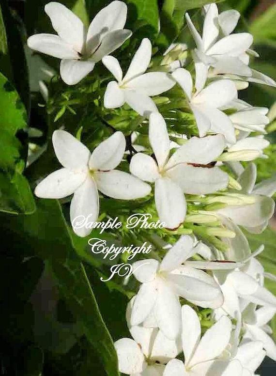 10 Seeds Indrajava Kurchi Rare White Star Flowers Great | Etsy