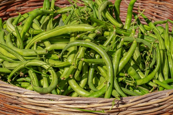 75 Seeds Bean seed Kentucky Wonder Pole Vegetable Exceptional flavor Heirloom