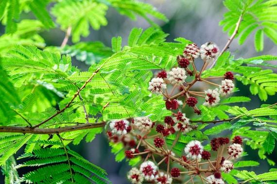 5 Seeds Acacia Concinna Shikakai Great Potted Tropical Etsy