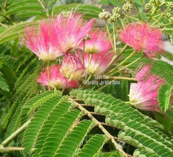 20 Seeds of Silk Tree Easy to Grow Mimosa Tree Seeds