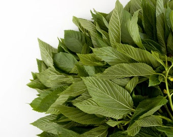 Egyptian Spinach 20 seeds! Sun or Shade perennial herb Ancient green from Middle East Corchorus olitorius Nalta Jute