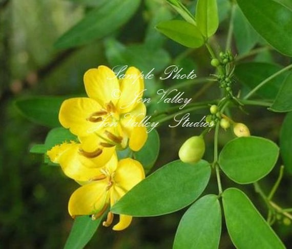 Avaram senna 8 seeds bright yellow flowers attracts etsy avaram senna 8 seeds bright yellow flowers attracts butterflies small evergreen easy to grow drought tolerant container cassia auriculata mightylinksfo