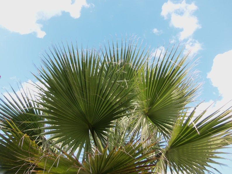 10 California Fan Palm Tropical Seeds Cold- drought, salt- Wind Tolerant  most widely grown Washingtonia filifera