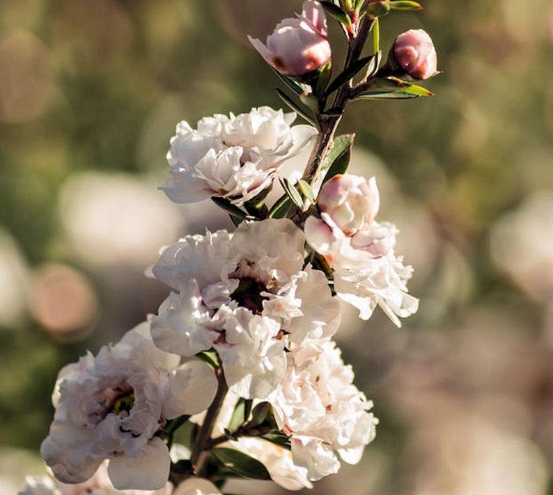 Leptospermum Scoparium 10 Seeds Manuka Tea Tree Small Evergreen